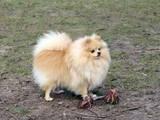 Собаки, щенки Померанский шпиц, цена 15500 Грн., Фото