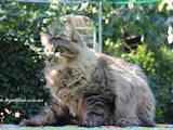 Кошки, котята Мэйн-кун, цена 15000 Грн., Фото