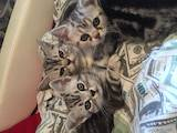 Кішки, кошенята Американська короткошерста, ціна 3000 Грн., Фото