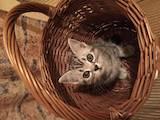 Кошки, котята Американская короткошерстная, цена 3000 Грн., Фото