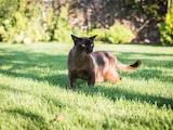 Кошки, котята Бурма, цена 10500 Грн., Фото
