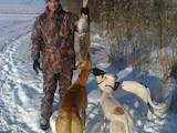Собаки, щенки Грейхаунд, цена 3000 Грн., Фото