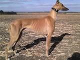 Собаки, щенята Грейхаунд, ціна 3000 Грн., Фото