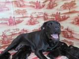 Собаки, щенята Кане Корсо, ціна 6000 Грн., Фото