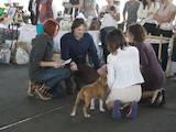 Собаки, щенки Американский стаффордширский терьер, цена 15000 Грн., Фото
