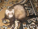 Тварини Фреткі, тхори, ціна 700 Грн., Фото