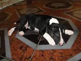 Собаки, щенки Бультерьер, цена 8000 Грн., Фото