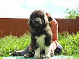 Собаки, щенки Кавказская овчарка, цена 12500 Грн., Фото
