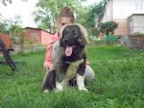 Собаки, щенята Кавказька вівчарка, ціна 12500 Грн., Фото