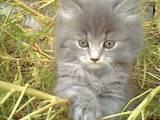 Кошки, котята Балинез, цена 5 Грн., Фото