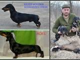 Собаки, щенята Гладкошерста такса, ціна 4990 Грн., Фото