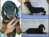 Собаки, щенки Гладкошерстная такса, цена 4990 Грн., Фото