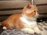Кошки, котята Экзотическая короткошерстная, цена 3900 Грн., Фото