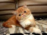 Кішки, кошенята Екзотична короткошерста, ціна 3900 Грн., Фото
