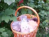 Кошки, котята Британская длинношёрстная, цена 2 Грн., Фото