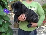Собаки, щенята Кане Корсо, ціна 100 Грн., Фото