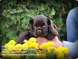 Собаки, щенки Американский коккер, цена 19999 Грн., Фото