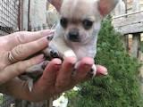 Собаки, щенки Чихуа-хуа, цена 10000 Грн., Фото