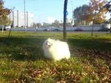 Собаки, щенята Малий шпіц, ціна 15500 Грн., Фото