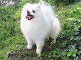 Собаки, щенки Малый шпиц, цена 15500 Грн., Фото