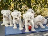 Собаки, щенята Цвергшнауцер, ціна 18000 Грн., Фото