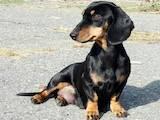 Собаки, щенки Разное, цена 450 Грн., Фото