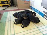 Собаки, щенята Різне, ціна 450 Грн., Фото