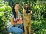 Собаки, щенки Немецкая овчарка, цена 10000 Грн., Фото
