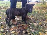 Собаки, щенки Бультерьер, цена 6000 Грн., Фото