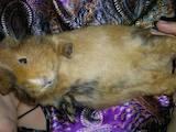 Гризуни Морські свинки, Фото