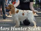 Собаки, щенята Російський спаніель, ціна 1200 Грн., Фото