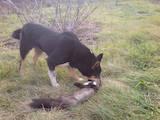 Собаки, щенята Східно-сибірська лайка, ціна 12 Грн., Фото