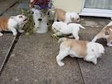 Собаки, щенки Английский бульдог, цена 7000 Грн., Фото