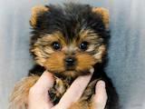 Собаки, щенята Йоркширський тер'єр, ціна 2485 Грн., Фото