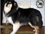 Собаки, щенята Довгошерстий коллі, ціна 10000 Грн., Фото