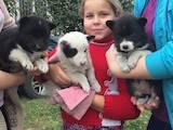 Собаки, щенки Русско-Европейская лайка, цена 1200 Грн., Фото
