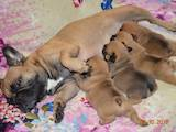 Собаки, щенки Французский бульдог, цена 11700 Грн., Фото