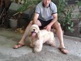 Собаки, щенята Американський коккер, ціна 3000 Грн., Фото