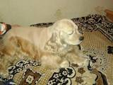 Собаки, щенки Американский коккер, цена 3000 Грн., Фото