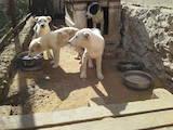 Собаки, щенята Середньоазіатська вівчарка, ціна 1800 Грн., Фото