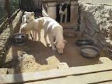 Собаки, щенки Среднеазиатская овчарка, цена 1800 Грн., Фото