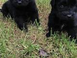 Собаки, щенята Ньюфаундленд, ціна 5500 Грн., Фото