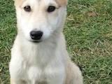 Собаки, щенки Западно-Сибирская лайка, цена 750 Грн., Фото