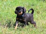 Собаки, щенки Брабантский гриффон, цена 3000 Грн., Фото
