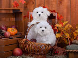 Собаки, щенки Мальтийская болонка, цена 50000 Грн., Фото