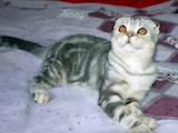 Кішки, кошенята Шотландська висловуха, ціна 2300 Грн., Фото