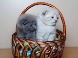 Кошки, котята Британская короткошерстная, цена 2200 Грн., Фото