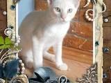 Кішки, кошенята Бурма, ціна 2000 Грн., Фото