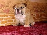 Собаки, щенки Английский бульдог, цена 14000 Грн., Фото