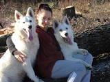 Собаки, щенята Біла Швейцарська вівчарка, ціна 12000 Грн., Фото